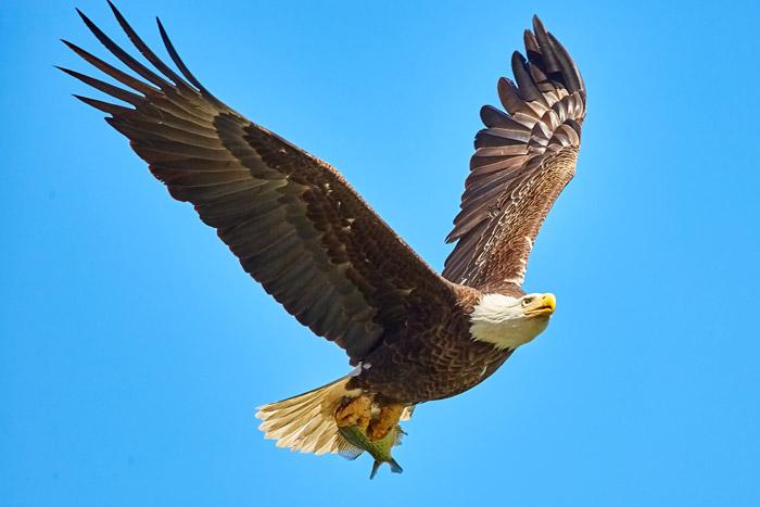 Stunning portrait of an eagle in flight