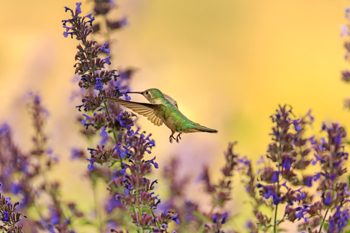 A hummingbird hovering around purple flowers - how to photo birds in flight