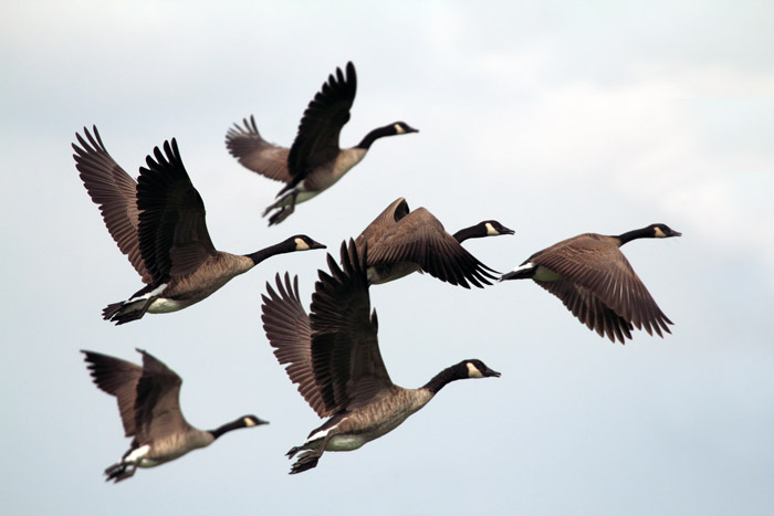 A photograph of geese in flight emphasizing form and muted color