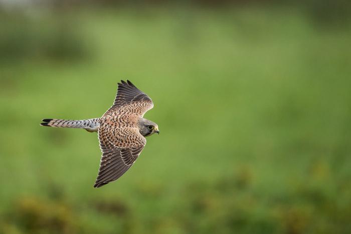 Wildlife portrait of a bird in flight