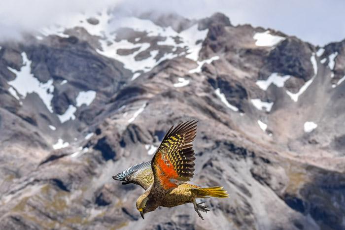 Stunning photo of a Kea bird in flight against a mountainous background