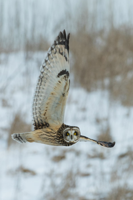 Wildlife portrait of an owl in mid air - how to photograph birds in flight