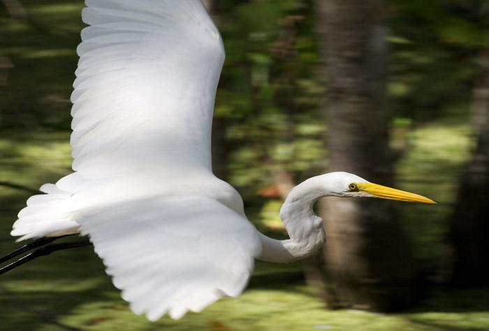 Stunning photo of an egret taking flight