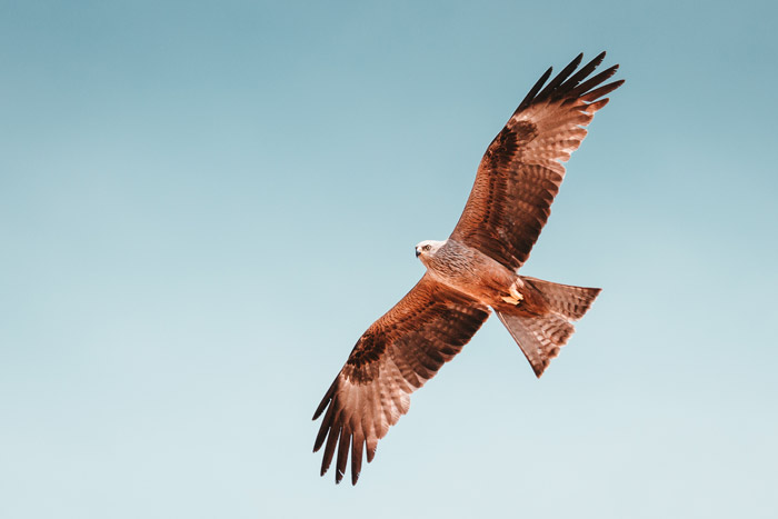 A Black Kite in mid air - how to photograph birds in flight