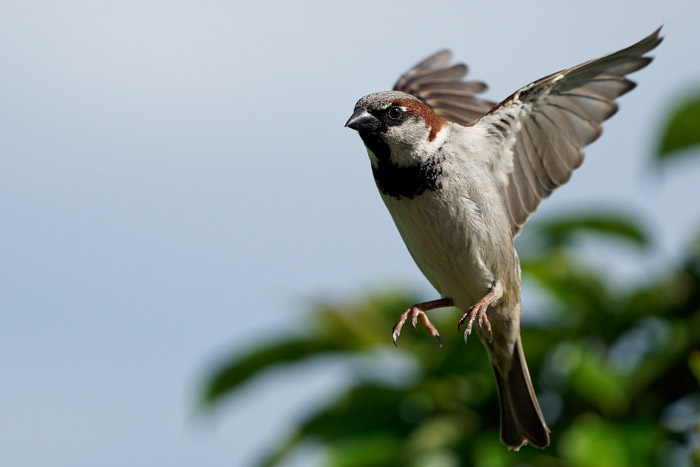 Wildlife portrait of a sparrow in mid air - how to photograph birds in flight