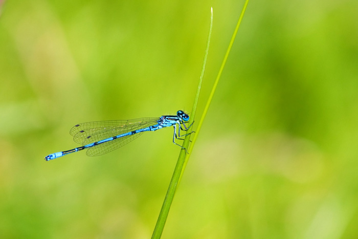 stunning shot of a blue dragonfly on a blade of grass - beautiful dragonflies pictures