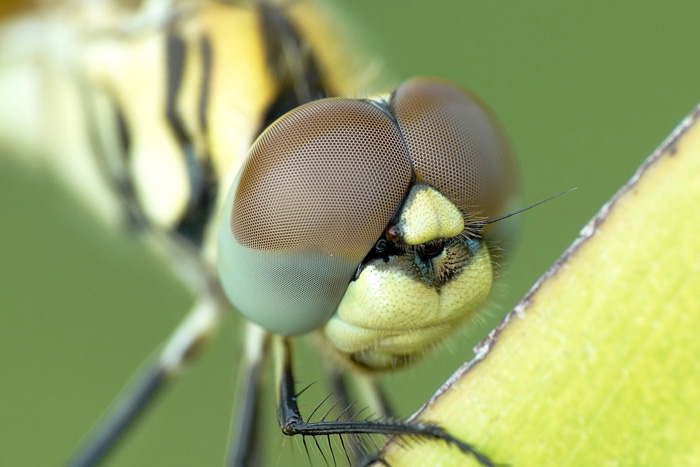 stunning macro shot of a dragonfly face