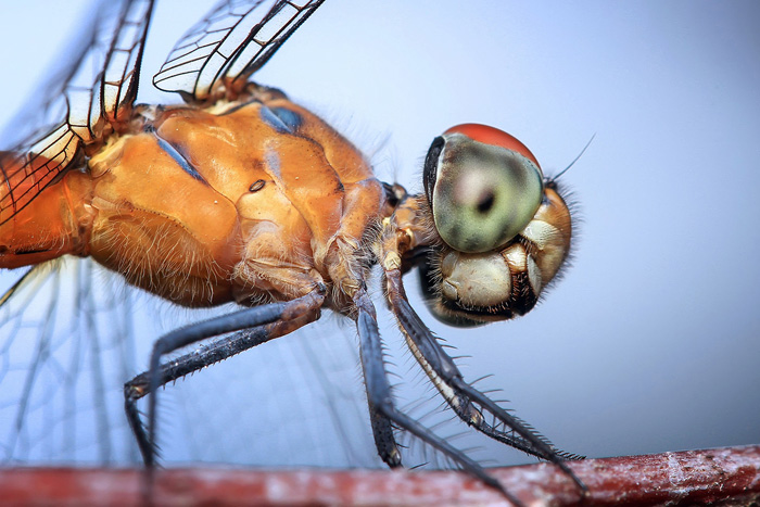 stunning macro photo of a dragonfly on a flower - beautiful dragonflies pictures
