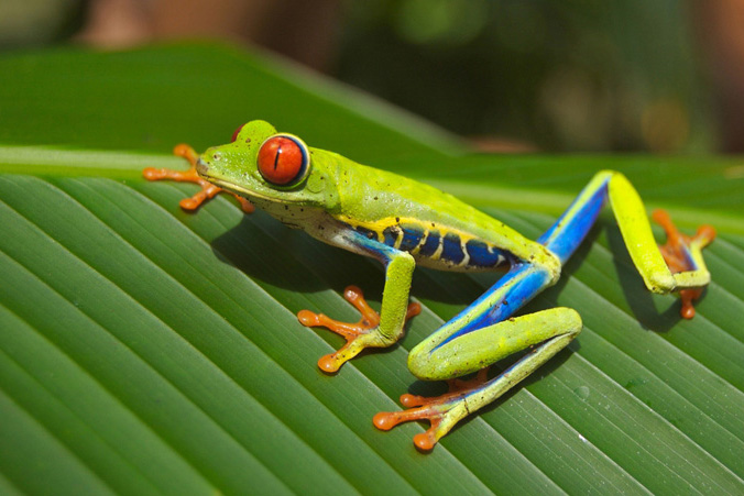 A close up of a colorful frog on a leaf