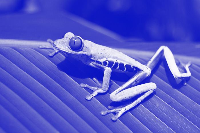 Blue tone monochromatic photo of a frog on a leaf