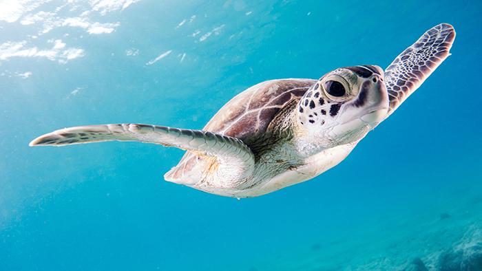 Magnificent sea turtle swimming underwater