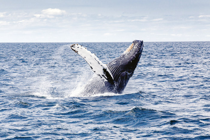 Cool soht of a whale surfacing from water - whale pictures