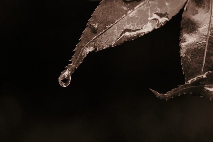 Sepia close up of a water drop rolling off a leaf