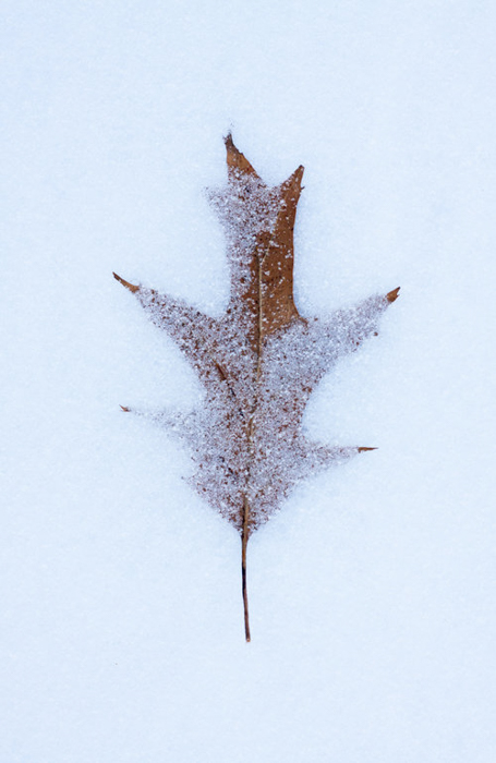 A close up of autumn leaves in the snow