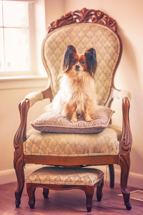 a cute pet portrait of a brown and white dog sitting on a lavish chair - aperture for pet photography