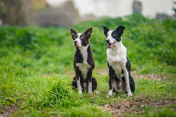 an outdoor pet portrait of two black and white dogs sitting on the grass - aperture for pet photography