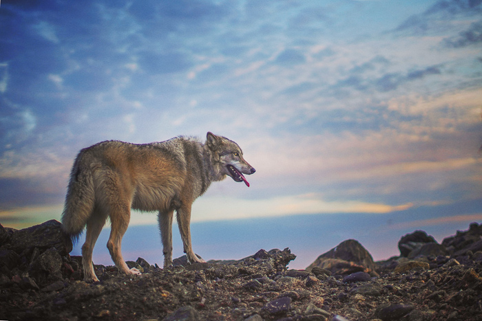 a wolf like dog standing on rocky ground - pet photography aperture