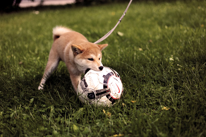 Cute portrait of a small dog playing with a football