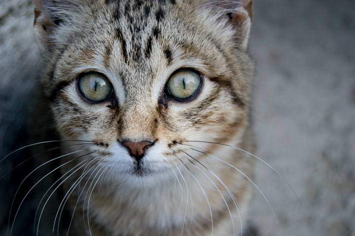A close up photo of a cat edited with a clarity positive brush