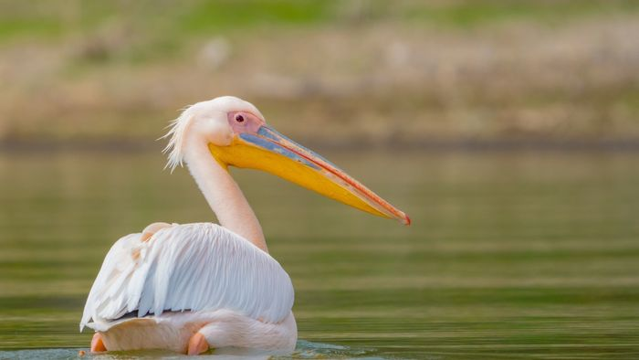 Photo of a pelican on a lake