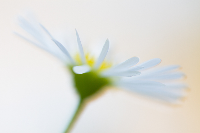 Blurry macro shot of a yellow and white flower with blurry background
