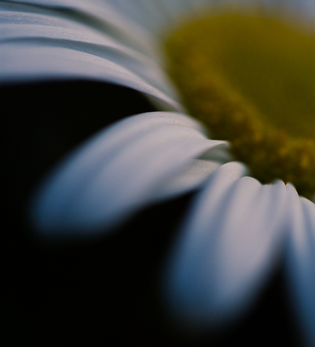 a macro shot of a yellow centered white flower with blurry black background