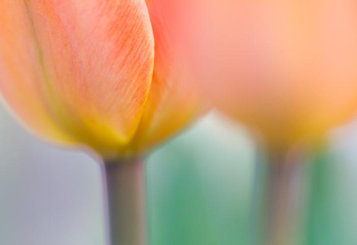 Blurry macro shot of tulip stalksse