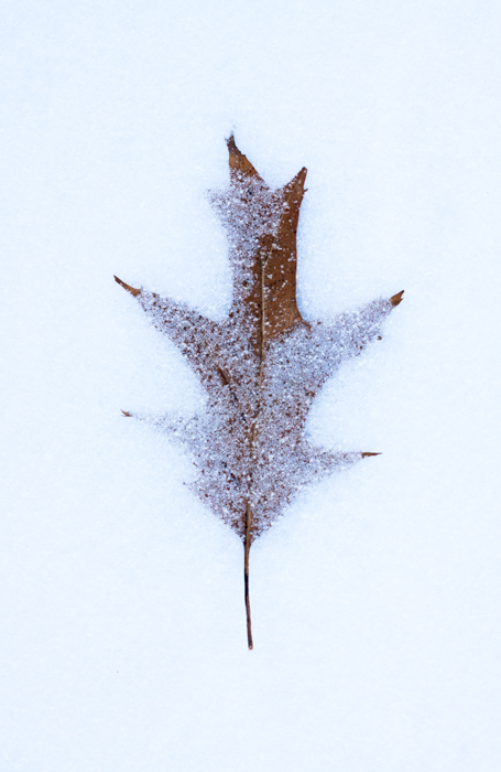 macro photography examples - snow covered leaf