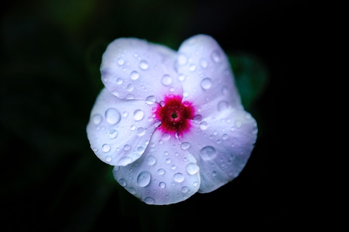 A close up of a soft pink flower covered with water drops against dark background - smartphone flower photos