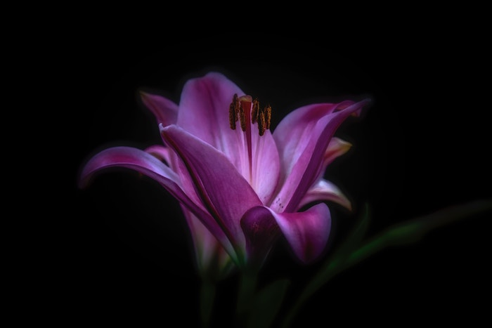 A close up of a pink flower with dark background - smartphone flower photos