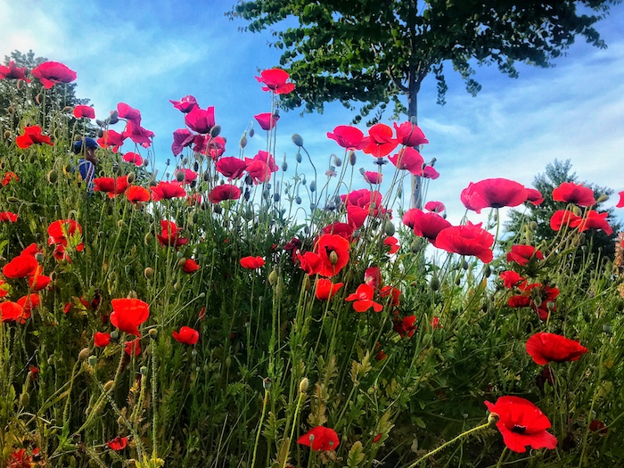 A close up of a group of wild poppies in grass - smartphone flower photos