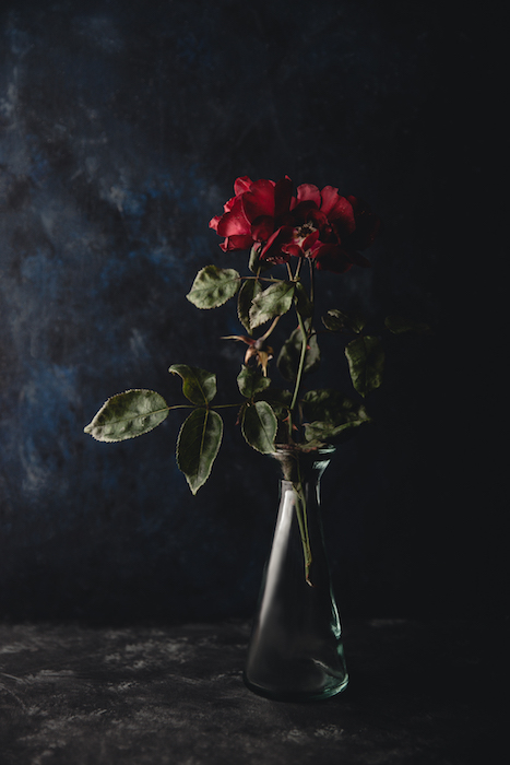 A dark and moody still life of a rose against a black background - smartphone flower photography