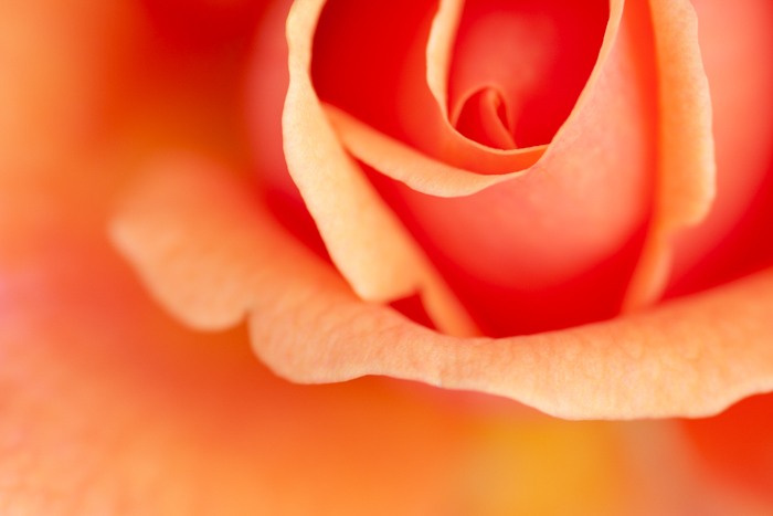 Macro photo of a rose in orange color