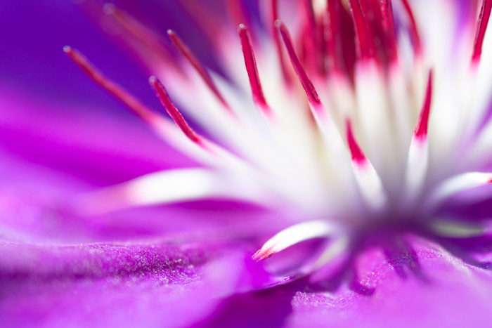 Macro photo of an exotic flower in purple, pink, and white colors