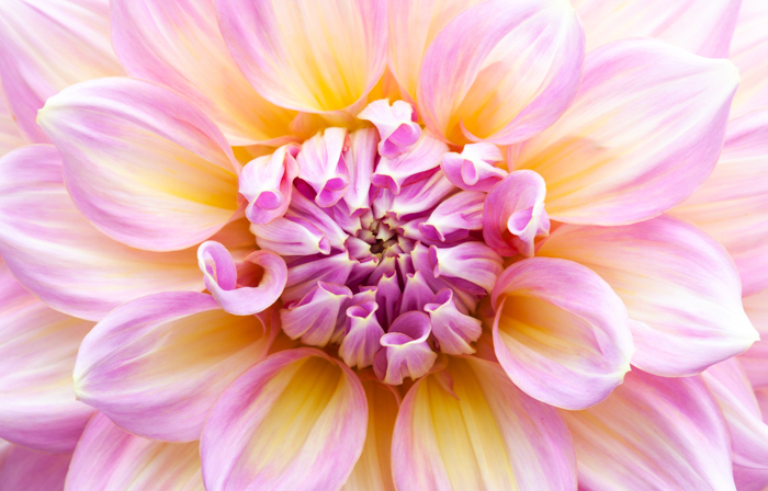 Macro photo of a flower in pink, yellow, and white colors