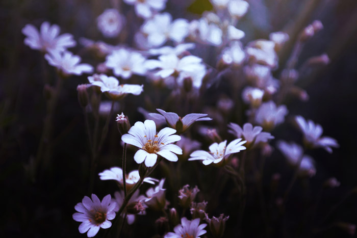 a close up of small white and lilac flowers - symbolism in photography
