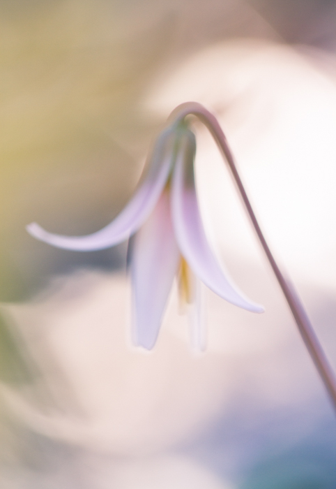 soft focus fine art macro photos of a trout lily