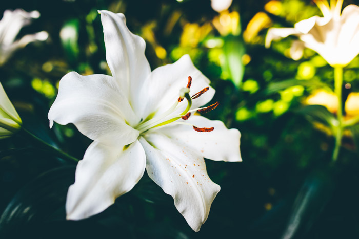 a white lily growing outdoors - symbolism in photography