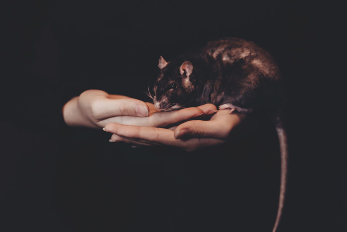 atmospheric photo of a rat on a persons hands - symbolism in photography