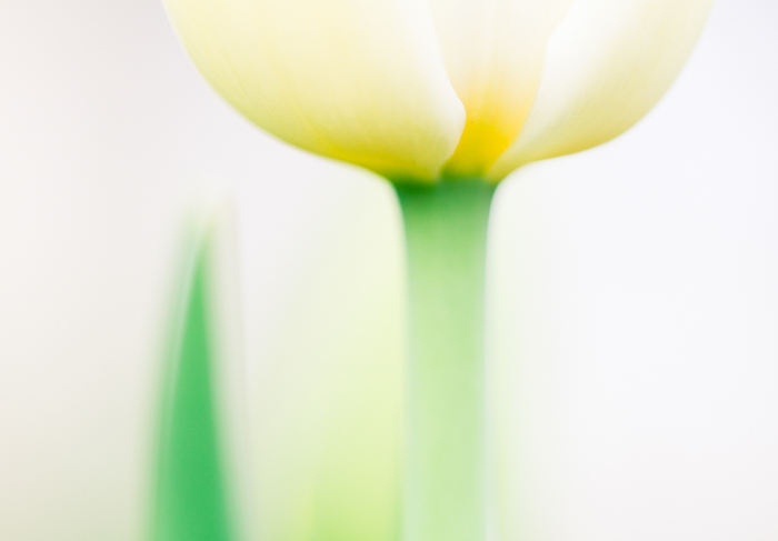ethereal macro photo of a yellow tulip flowers
