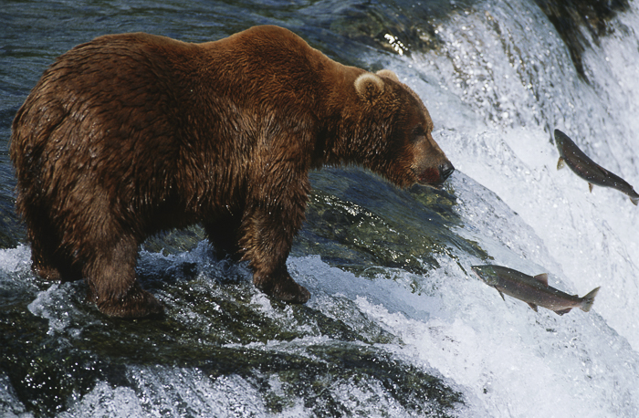 a brown bear standing atop a waterfall with fish jumping out of the water, frozen in action