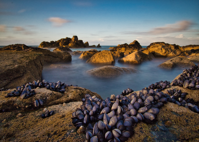 Clams on rocks in the sea