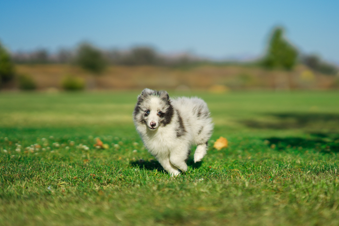 Photo of a little dog running on a field