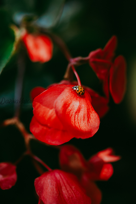 Macro photo of a red flower with a ladybug on it