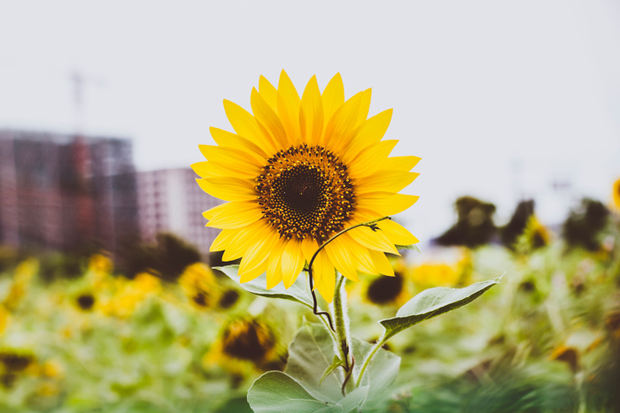 Image of a sunflower in a sunflower field