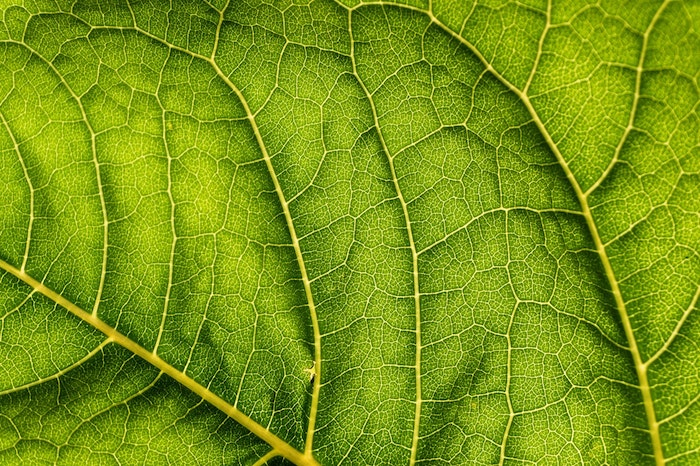 Macro photo of the veins of a leaf