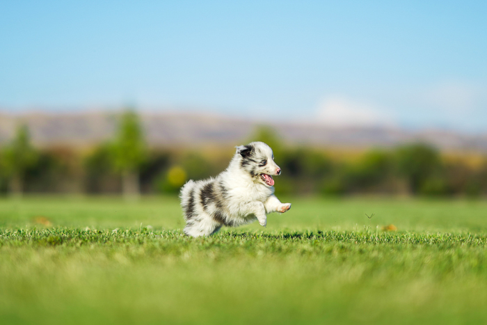 Photo of a running puppy in the middle of a field