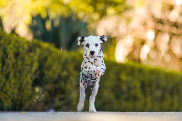 Photo of a jumping dalmatian puppy