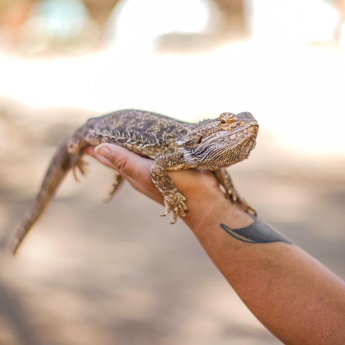 A hand holding a bearded dragon