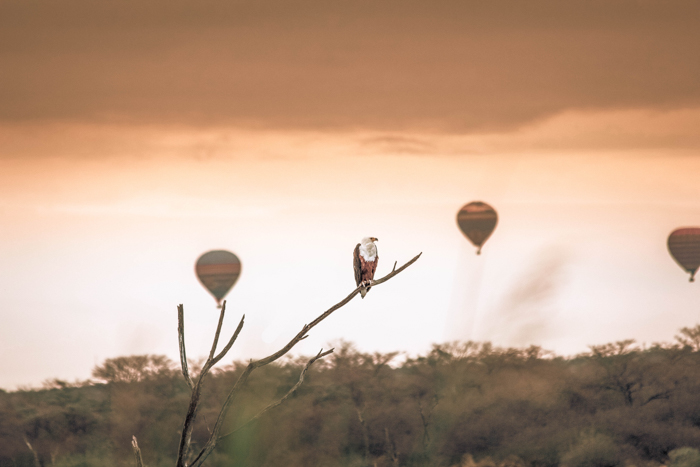 Sunset image with a bird of prey on a branch, and three hot-air balloons out of focus in the background